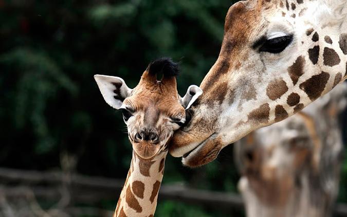 robert mark safaris, giraffe, africa, safari, wildlife