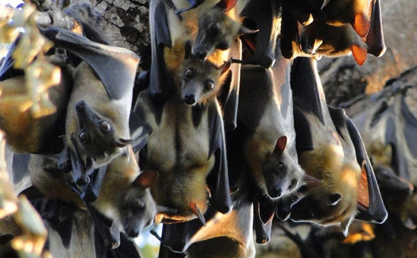 Bats galore in Kasanka National Park, Zambia