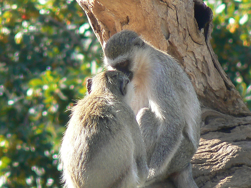 robert mark safaris, african rain, monkeys wedding
