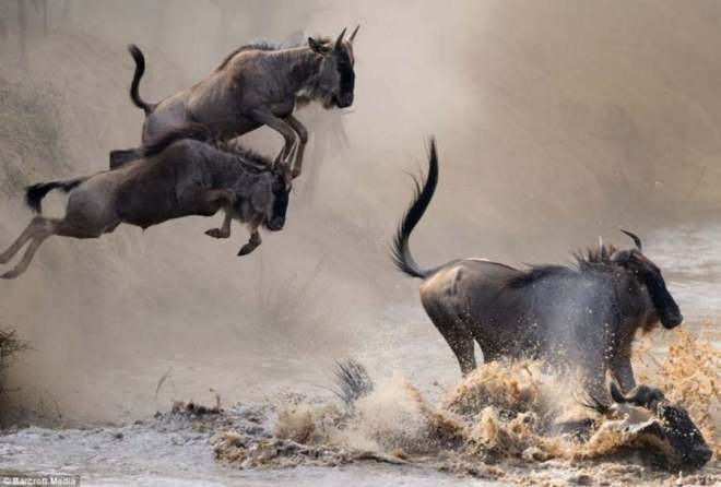 Power-and-majesty-of-wildebeest-migration-1