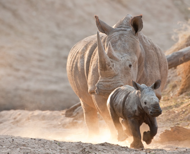 robert mark safaris, africa, rhino, south africa, botswana, wildlife