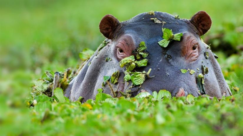 The surprising thing about hippos…