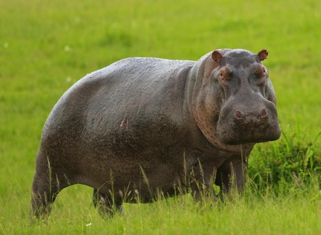 robert mark safaris, hippo, safari tips