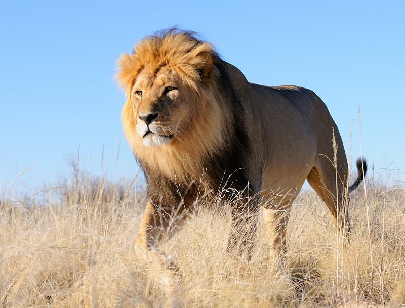 african lions - photo #18