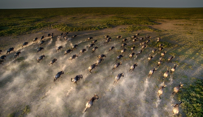 Close-up-aerial-wildebeest-great-migration