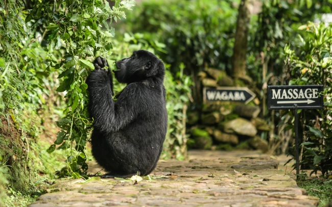 Bwindi gorilla at the lodge 1.jpg