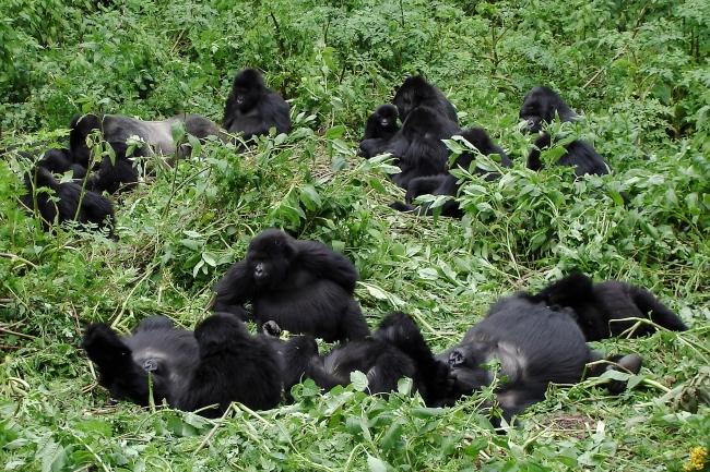 Bwindi Gorilla Clan - Shutterstock.jpg
