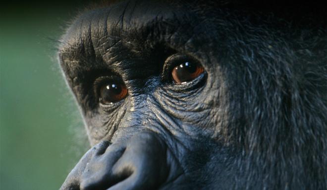 Gorilla-Face---iStock-Sekernas.jpg