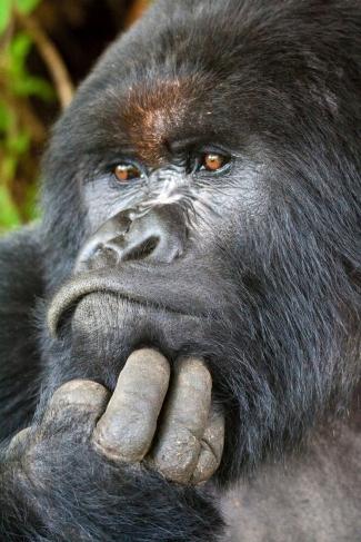 Rwanda Charles the Gorilla - iStock WL Davies.jpg