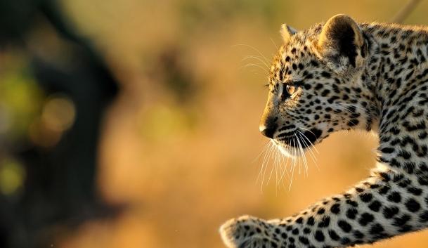 Inyati-game-lodge-Tlangisa-leopard-cub.jpg
