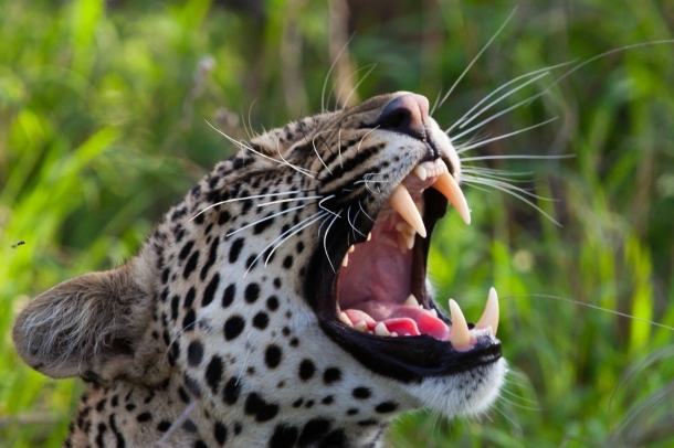 Leopard Teeth
