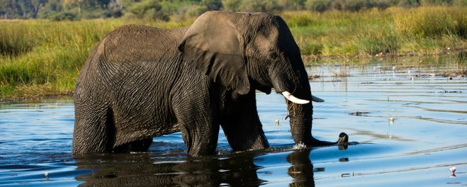 Robert Marks Safari_Mokoro Canoe Trips_Elephant Drinking