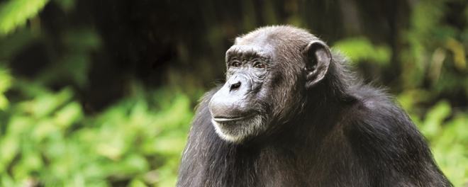 Robert Mark Safaris_Where To Go On Safari in December_Nyungwe Chimp in Rwanda