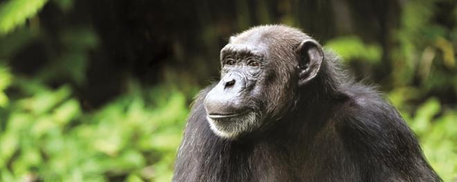 Robert Mark Safaris_Where To Go On Safari in December_Nyungwe Chimp in Rwanda