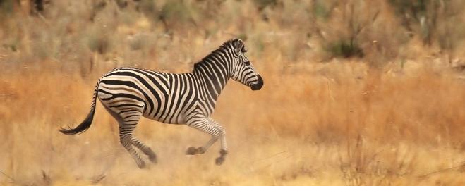 Robert Mark Safaris_Where To Go On Safari in December_Wild Zebra