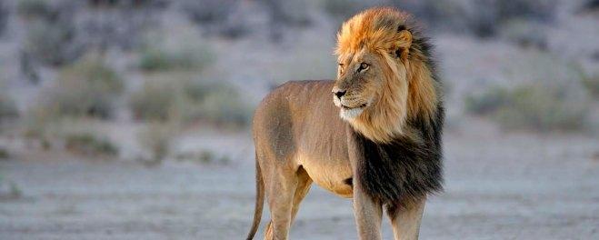 Kalahari Male Lion.jpg