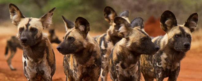 Robert_Mark_Safaris_Wild Dogs at Makanyane