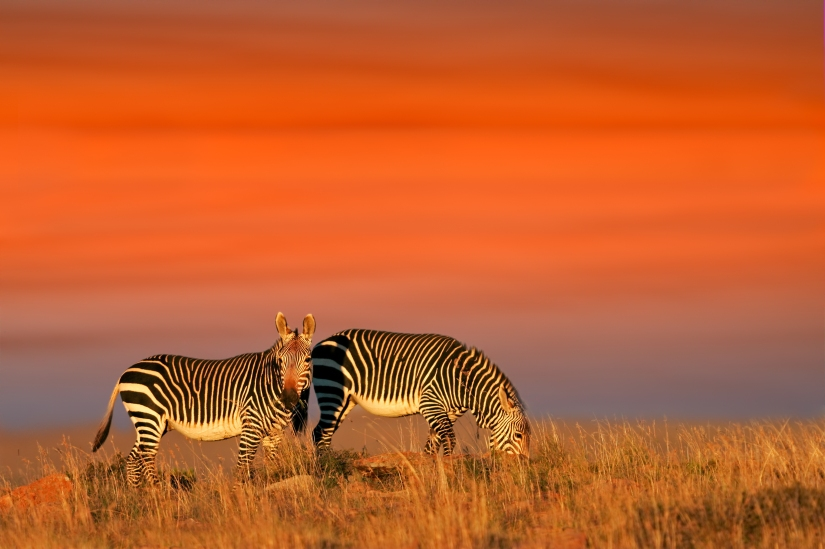 Robert Marks Safari_Zebras Grazing Under an Orange Sunset
