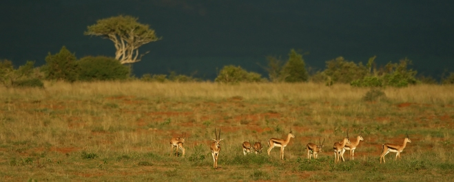 Robert Mark Safariss_Herd of Impalas in Laikipia Park