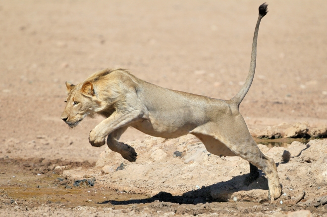 Robert Marks Safaris_Leaping Lion in Botswana