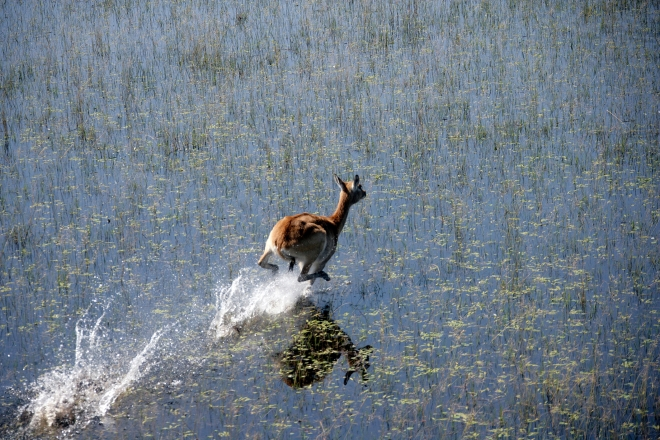 Robert Marks Safari_Lechwe Running in Water