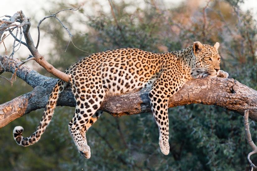 Robert Marks Safari_Botswana, Leopard on a Branch