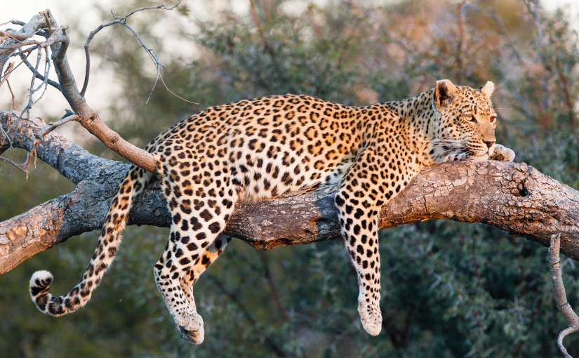 Robert Marks Safari_Botswana, Leopard on a Branch
