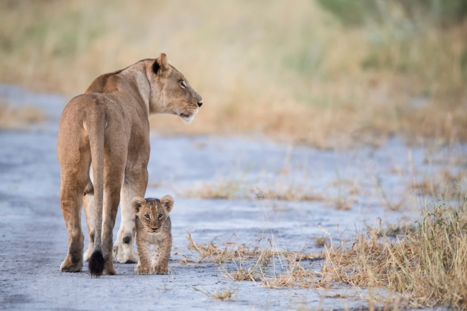 Lioness and Cub in Botswana Game Reserve, Africa