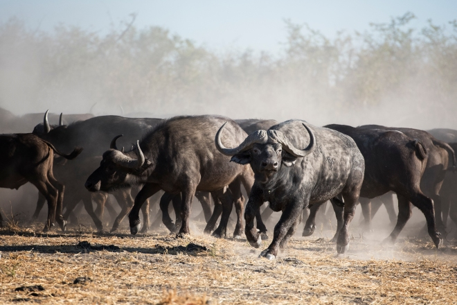 Buffalo Herd in Botswana Game Reserve, Africa
