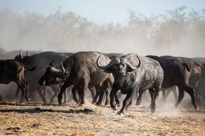 Buffalo Herd in Botswana Game Reserve, Africa